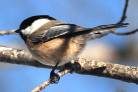 Black-capped chickadee (Photo by Paul Turbitt)