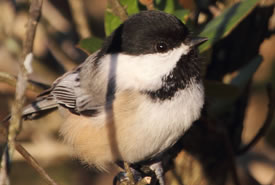 Black-capped chickadee (Photo by Bill Hubick)