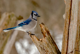 Blue jay (Cyanocitta cristata) (Photo by Lorne)