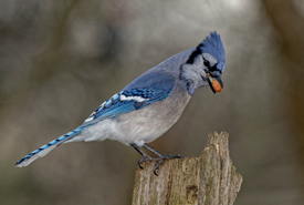 Blue jay with a peanut (Photo by Lorne)