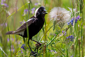 Bobolink, Prairie Smoke Nature Reserve, Carden Alvar, ON (Photo by NCC)
