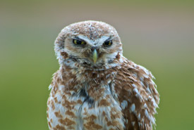 Burrowing owl (Photo by Don Dabbs)