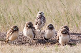 Burrowing owls (Photo by K Bassey)