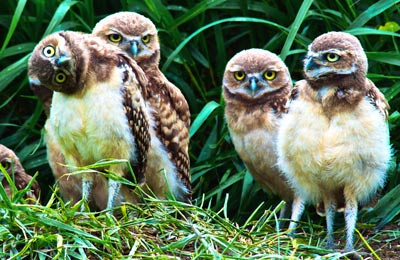 Burrowing owls group together. (Photo by Don Dabbs)