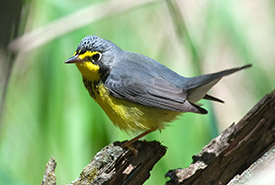 Canada warbler (Photo by Gerald Deboer)
