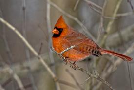 Cardinal (Photo by Lorne)