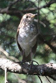 Bicknell's thrush (Photo from Wikimedia Commons)