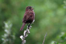 A song sparrow sings at Chase Woods. (Photo by Ren Ferguson)