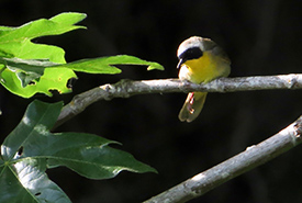 Common yellowthroat at Chase Woods Nature Preserve (Photo by Ren Ferguson)