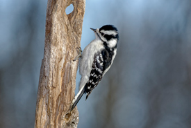 Downy woodpecker (Photo by Lorne)