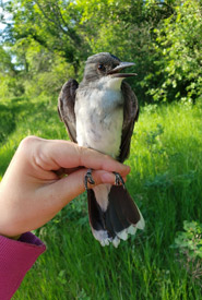 Adult (after second year) Eastern kingbird (Photo by NCC)