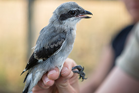 Tagging an eastern loggerhead shrike in the Napanee Plain, ON (Photo by Vincent Luk/Evermaven)
