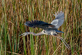 Great blue heron spreading its wings (Photo by Lorne)