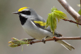 Golden-winged warbler (Photo by Marshall Faintich)
