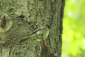 Eastern wood pewee in the Happy Valley Forest. (Photo by NCC)