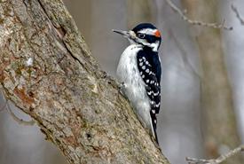 Hairy woodpecker (Photo by Lorne)