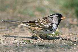 Harris's sparrow (Photo by John Reaume)