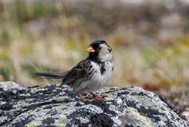 Harris's sparrow (Photo by NCC)