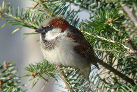 Male house sparrow (Photo by Roy LaPointe)