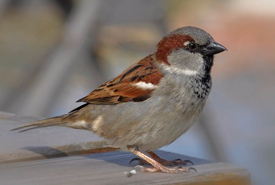 House sparrow (Photo from Wikimedia Commons)