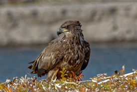 Juvenile bald eagle (Photo by Lorne)