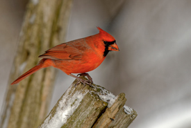 Male cardinal (Photo by Lorne)