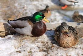 Mallards — male on the left, female on the right. (Photo by Pia Vahabi/NCC staff)