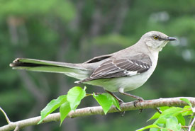 Northern mockingbird (Photo by Captain-tucker, Wikimedia Commons)