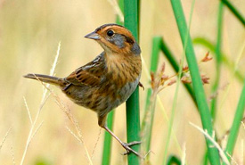Nelson's sparrow (Photo from Wikimedia Commons)