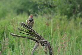 Northern flicker at Chase Woods Nature Preserve (Photo by Ren Ferguson)