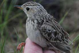 Sprague's pipit (Photo by Steve Zack)
