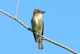 Olive-sided flycatcher (Photo by R. Hocken)