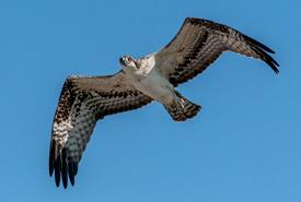 Osprey in flight (Photo by Lorne)