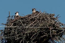 Osprey in their nest (Photo by Lorne)