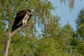 Perching osprey (Photo by Lorne)
