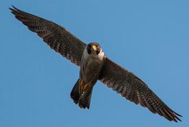 Peregrin falcon, BC (Photo by Stuart Clarke)