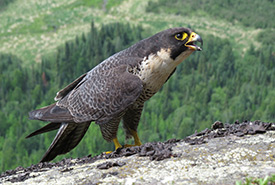 Peregrine falcon, ON (Photo by Brian Ratcliff)