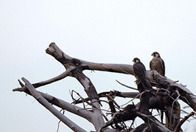 Peregrine falcons (Photo by Evan Young/NCC)