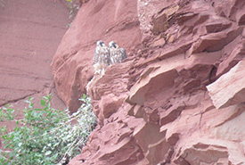 Peregrine falcons (Photo by NCC)