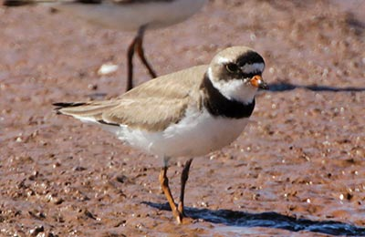 Semipalmated plover in Johnson's Mills, NB (Photo by Mike Dembeck)