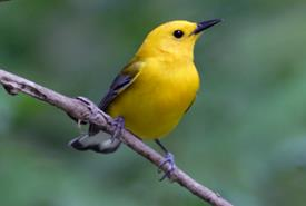 Prothonotary Warbler (photo by Bill Hubick)