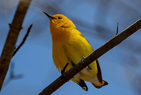 Prothonotary warbler (Photo by Mhairi McFarlane)