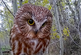 Northern saw-whet owl (Photo by NCC)