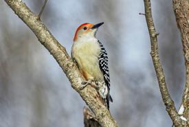 Red-bellied woodpecker (Photo by Lorne)