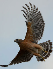 Red-shouldered hawk taking flight (Photo by Wikimedia Commons, Gouldingken)