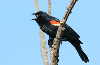 Red-winged blackbird, ON (Photo by Bill Hubick)