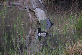 Ring-necked duck at Chase Woods Nature Preserve (Photo by Ren Ferguson)