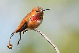 Rufous hummingbird (Photo by Stuart Clarke)