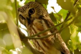 Haida Gwaii saw-whet owl, BC (Photo by Brendan Lally)