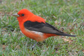 Scarlet tanager (Photo by Andy Reago & Chrissy McClarren, Wikimedia Commons)